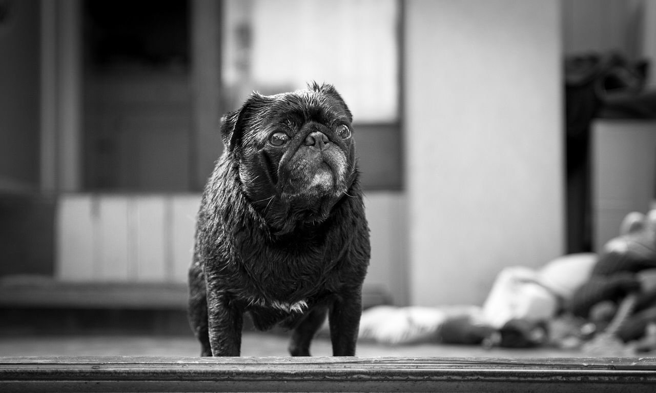 Looking out Pug Dogs Blackandwhite Pets Corner Pet Photography  Dog Love Dogs Of EyeEm Black Pug Pug Life  One Animal Pets Dog Animal Themes Domestic Animals Focus On Foreground Mammal Indoors  No People Day Close-up