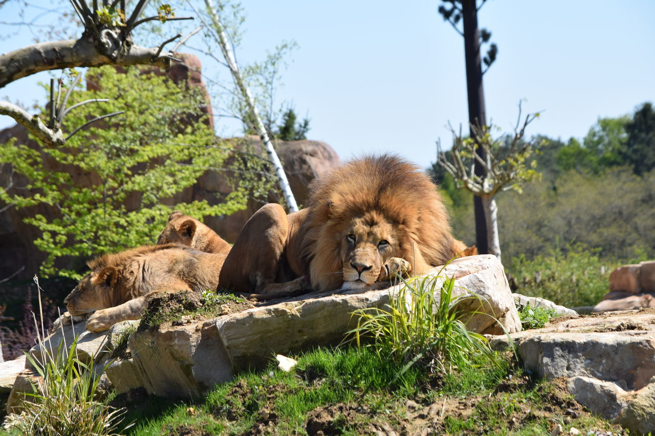 lion Animal Themes Animal Wildlife Animals In The Wild Beauval Day Feline King Lion Mammal Nature No People Outdoors Power Relaxation Sky Strong Terre Terre Des Lions Tree Zoology