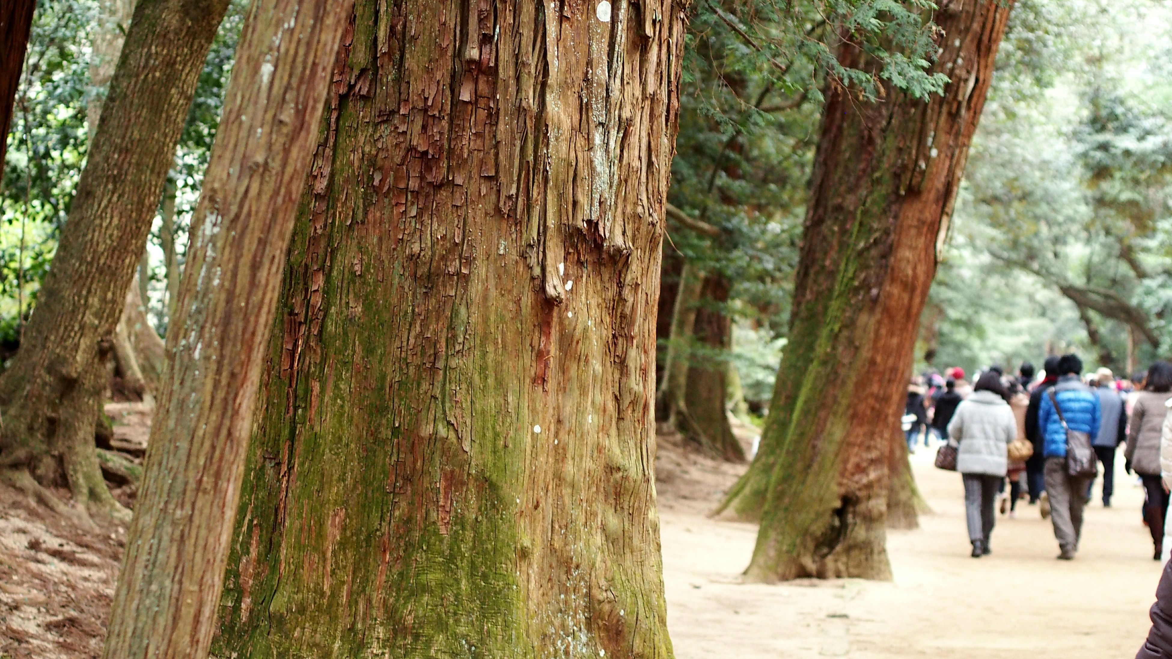 tree, tree trunk, lifestyles, leisure activity, walking, men, person, rear view, full length, casual clothing, wood - material, standing, forest, day, nature, outdoors, growth, footpath