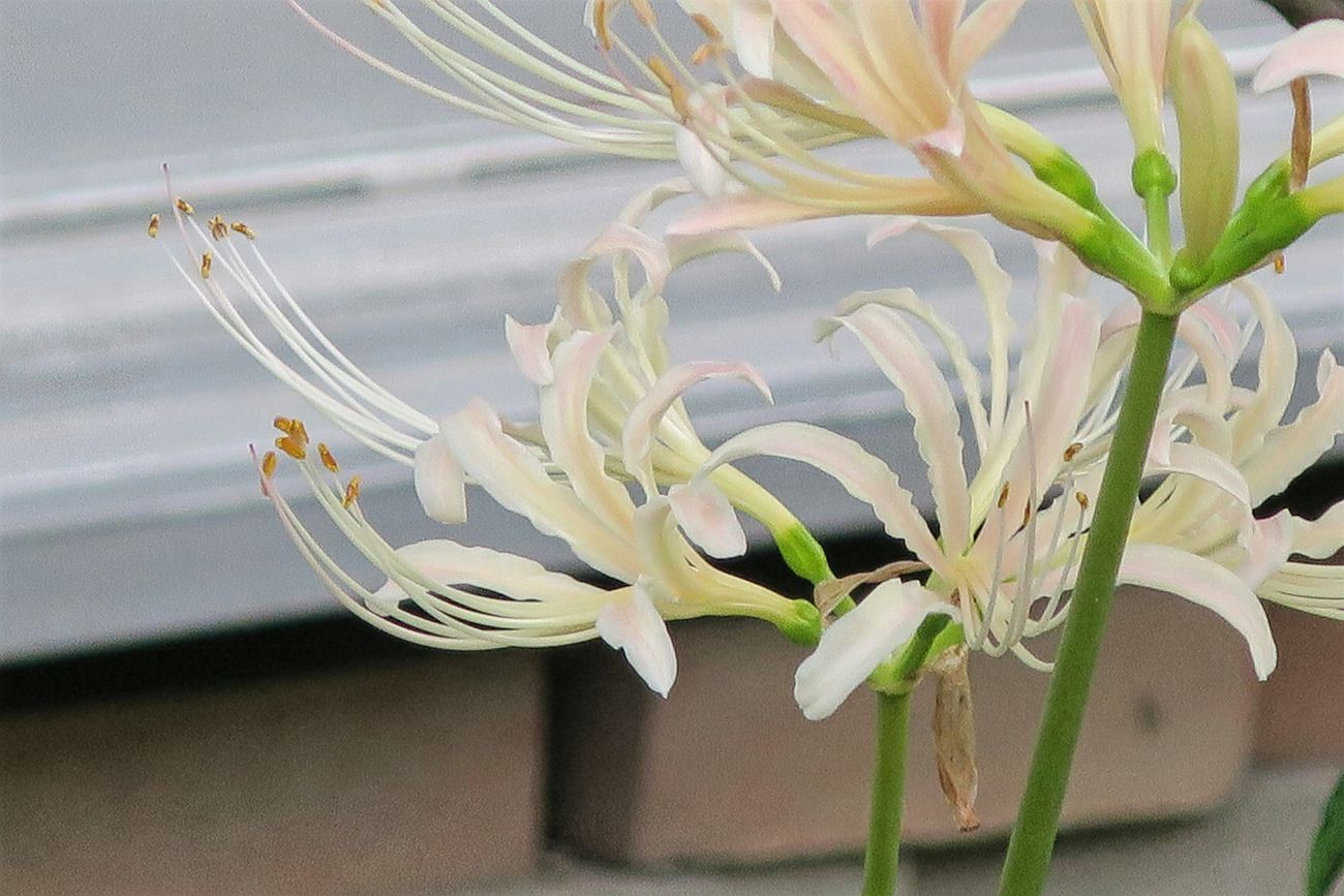 満開までまだまだ Redspiderlily White Flowers White White Color Green Growth Flower Head Canon Powershot G9X City Life Fukuoka,Japan Nature Selective Focus Beauty In Nature Focus On Foreground Plant Close-up Freshness Flower