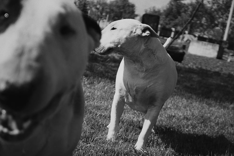 Bullterrier Blackandwhite Monochrome Dog