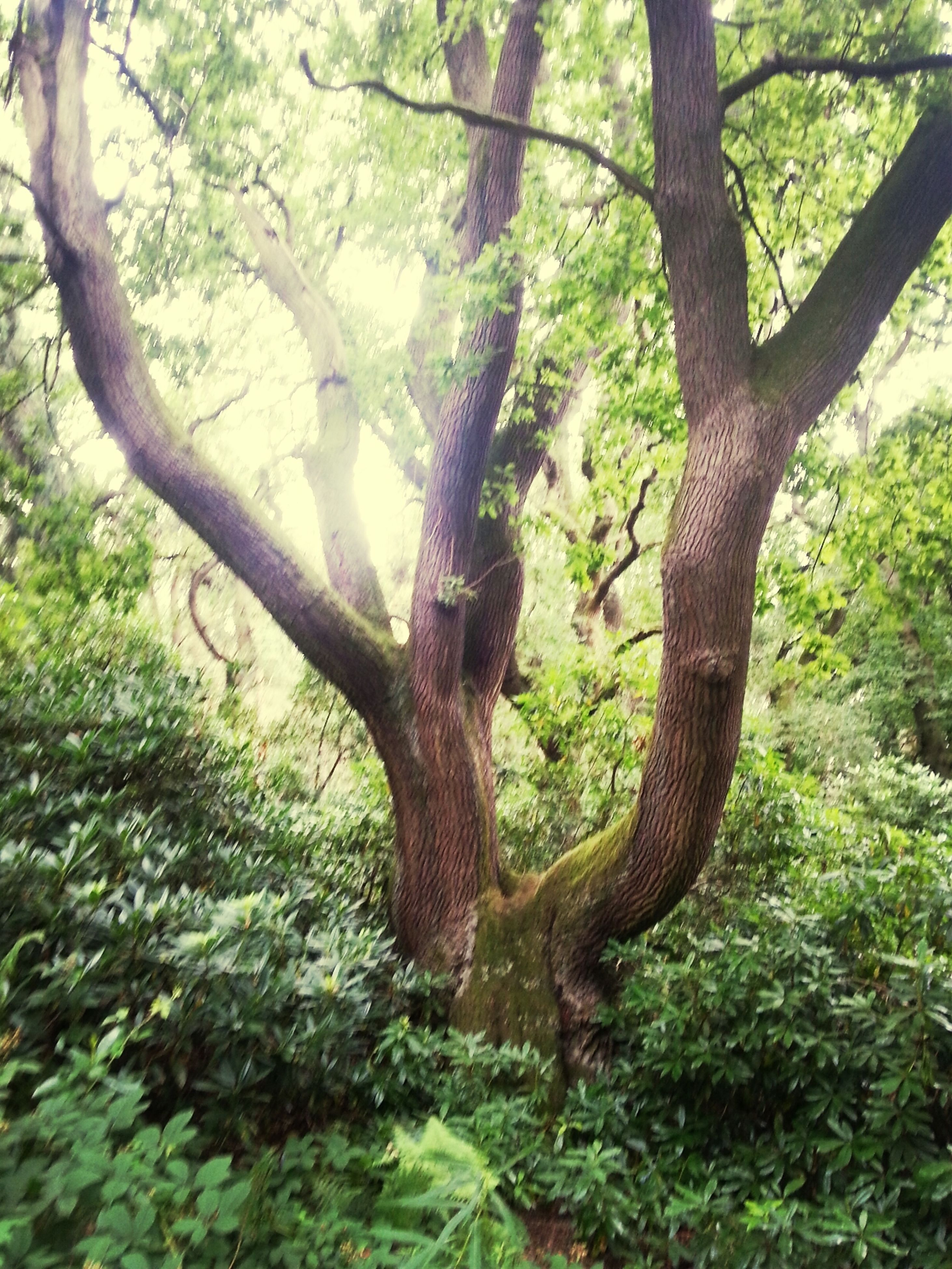 tree, forest, tree trunk, growth, nature, green color, tranquility, branch, beauty in nature, woodland, moss, scenics, tranquil scene, day, plant, outdoors, no people, non-urban scene, lush foliage, sunlight