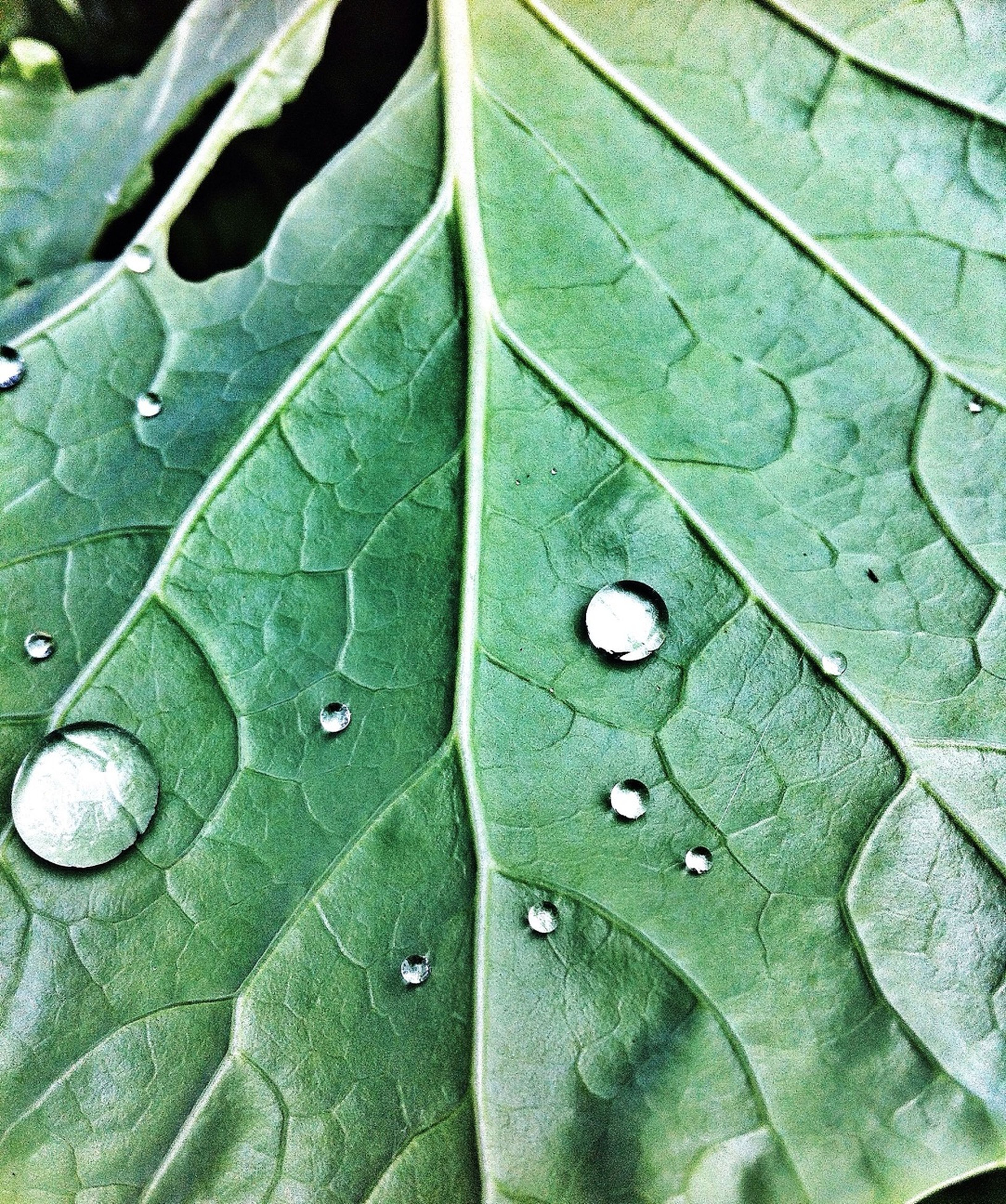 leaf, leaf vein, green color, close-up, full frame, backgrounds, natural pattern, pattern, drop, nature, growth, wet, textured, high angle view, detail, beauty in nature, water, day, outdoors, no people