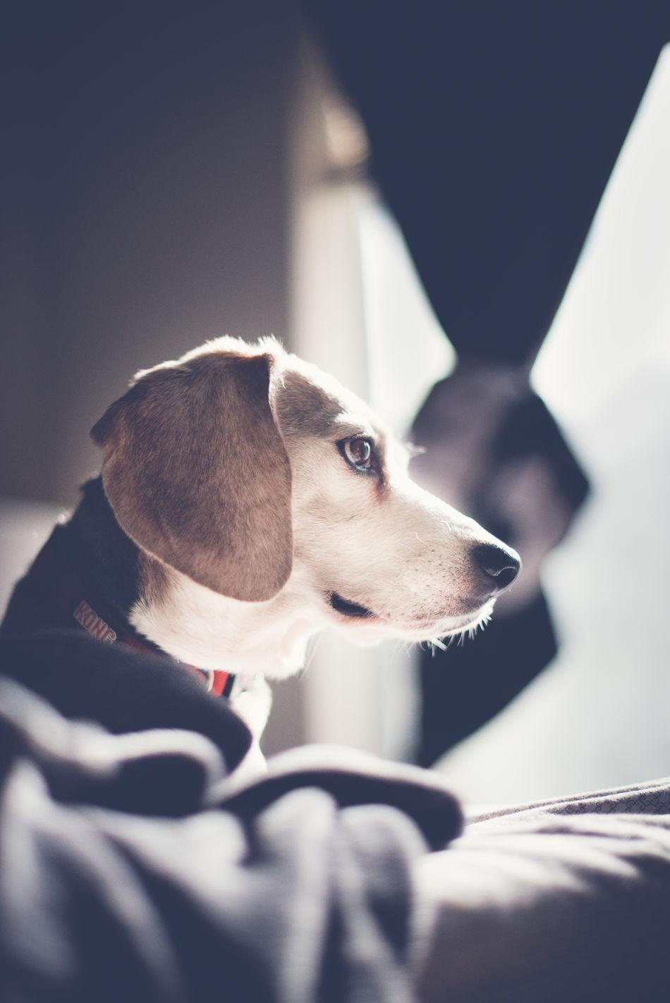 Animal Themes Beagle Beagle Love Close-up Day Dog Dog Photography Dog Portrait Dog Portraiture Domestic Animals Indoors  Mammal My Love No People One Animal Pet Photography  Pet Portraits Pet Portraiture Pets