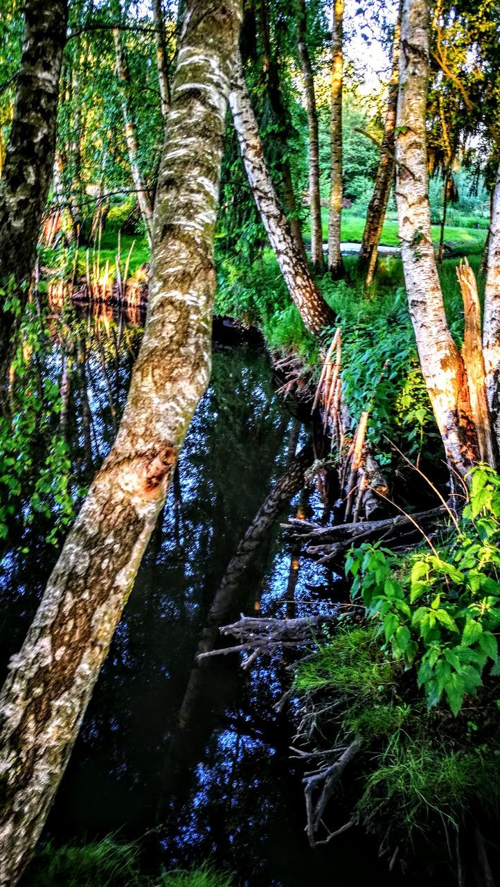 tree trunk, tree, nature, growth, forest, tranquility, beauty in nature, tranquil scene, reflection, no people, water, scenics, outdoors, branch, day
