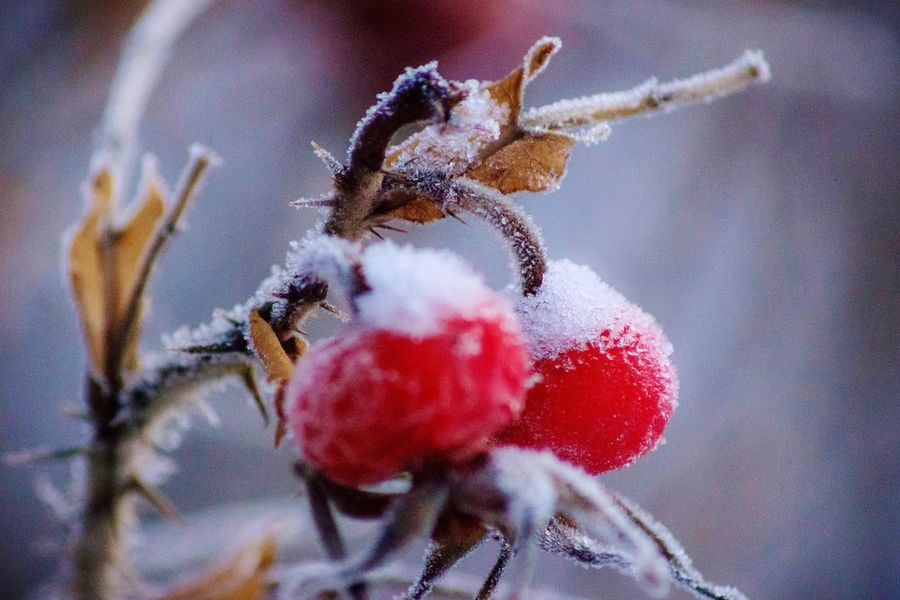 Close-up Nature Growth Red No People Outdoors Fruit Beauty In Nature EyeEm Best Shots EyeEm Masterclass Nature Nature_collection Winter Cold Snow Frost