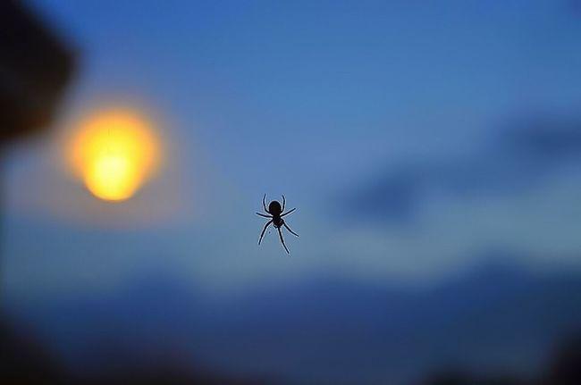 Spidersunset Spider Araignée Sunset