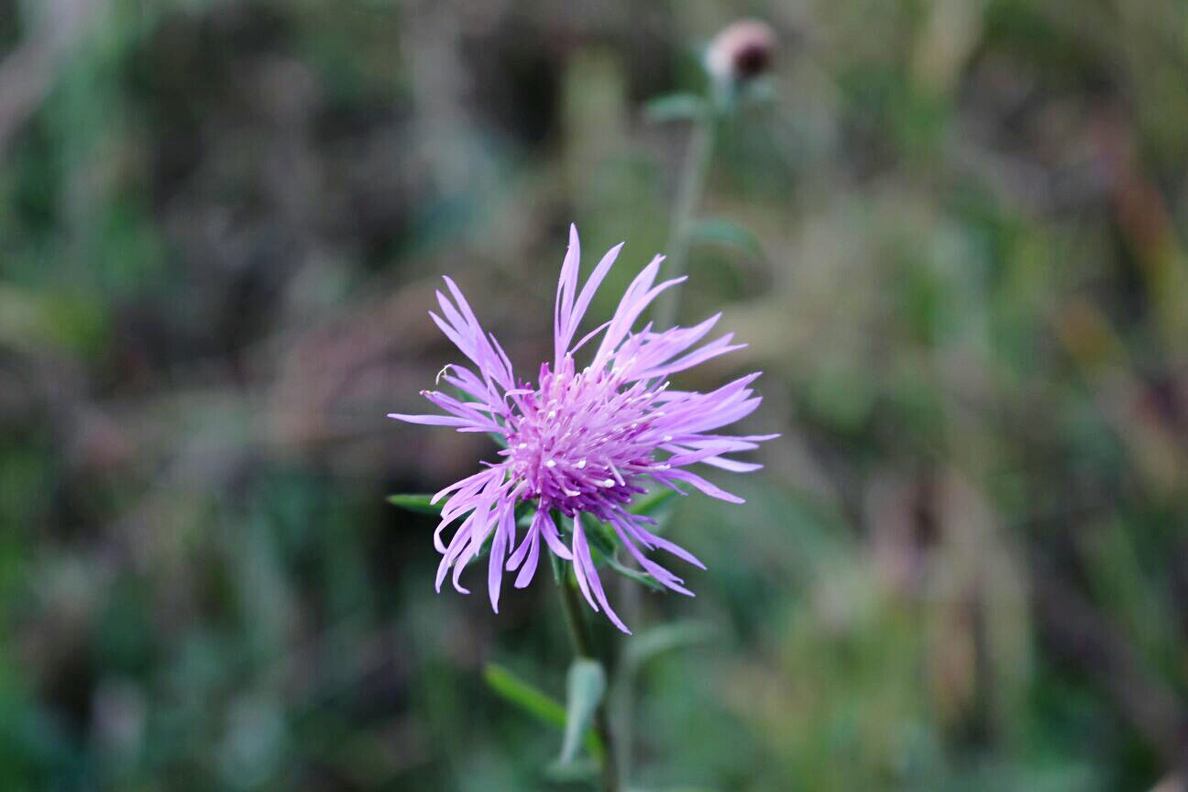purple, fragility, flower, freshness, growth, petal, flower head, beauty in nature, focus on foreground, stem, springtime, in bloom, single flower, close-up, nature, plant, botany, vibrant color, thistle, blooming, blossom, day, outdoors, bloom, pink, purple color, pink color, softness