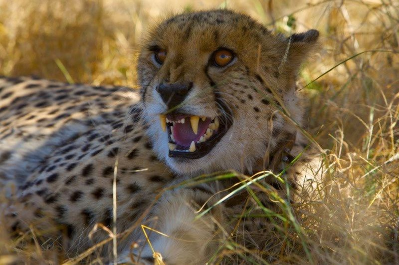 Cheetah Africa South Africa Aggressive Back Off
