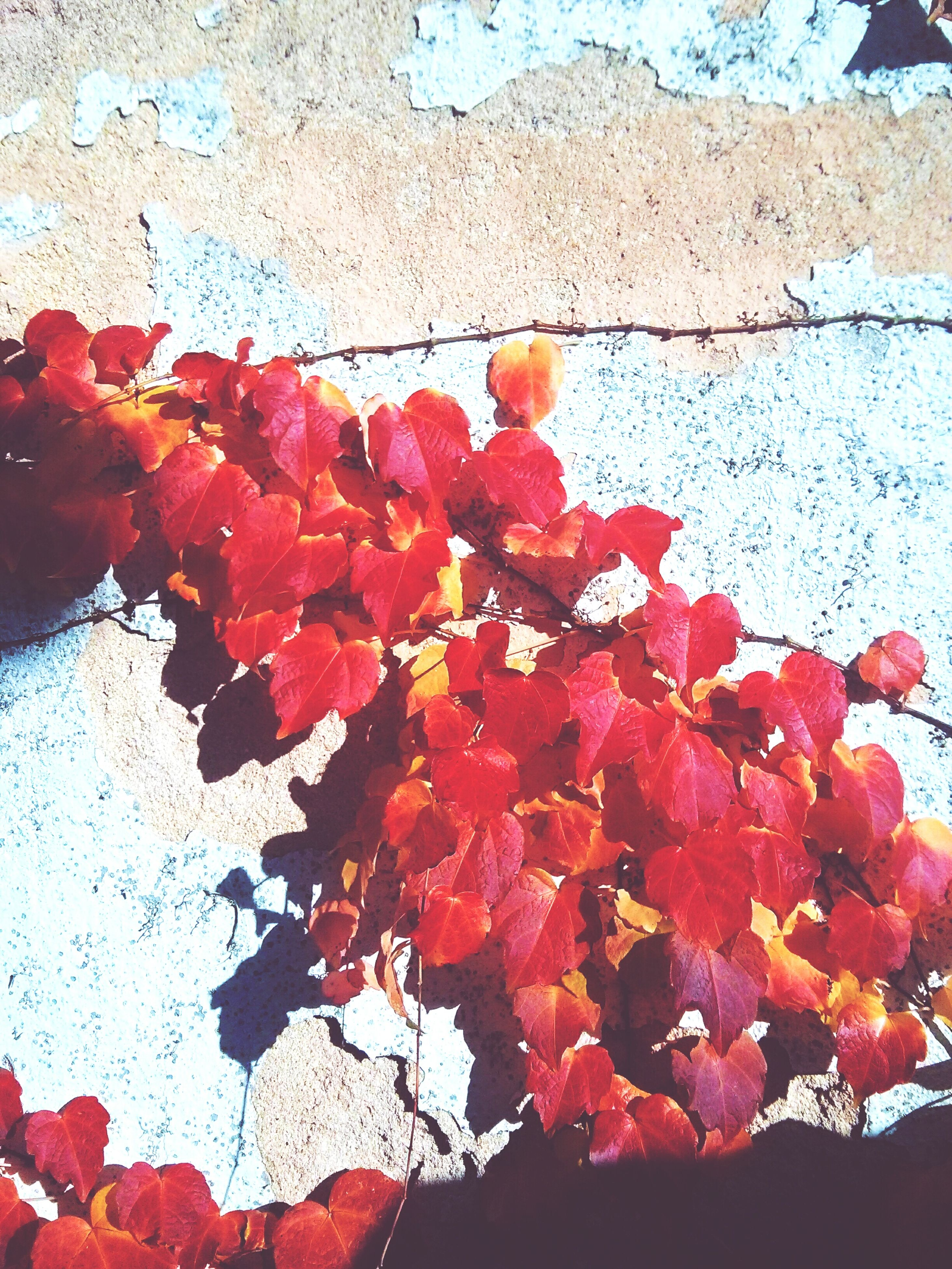 red, flower, leaf, autumn, season, freshness, fragility, growth, change, branch, nature, close-up, day, beauty in nature, wall - building feature, outdoors, built structure, no people, blossom, plant