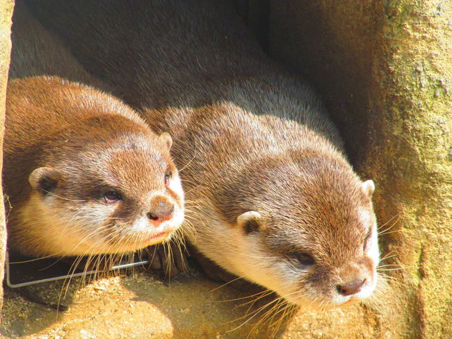 Cute♡ Beauty In Nature Otters Two Is Better Than One