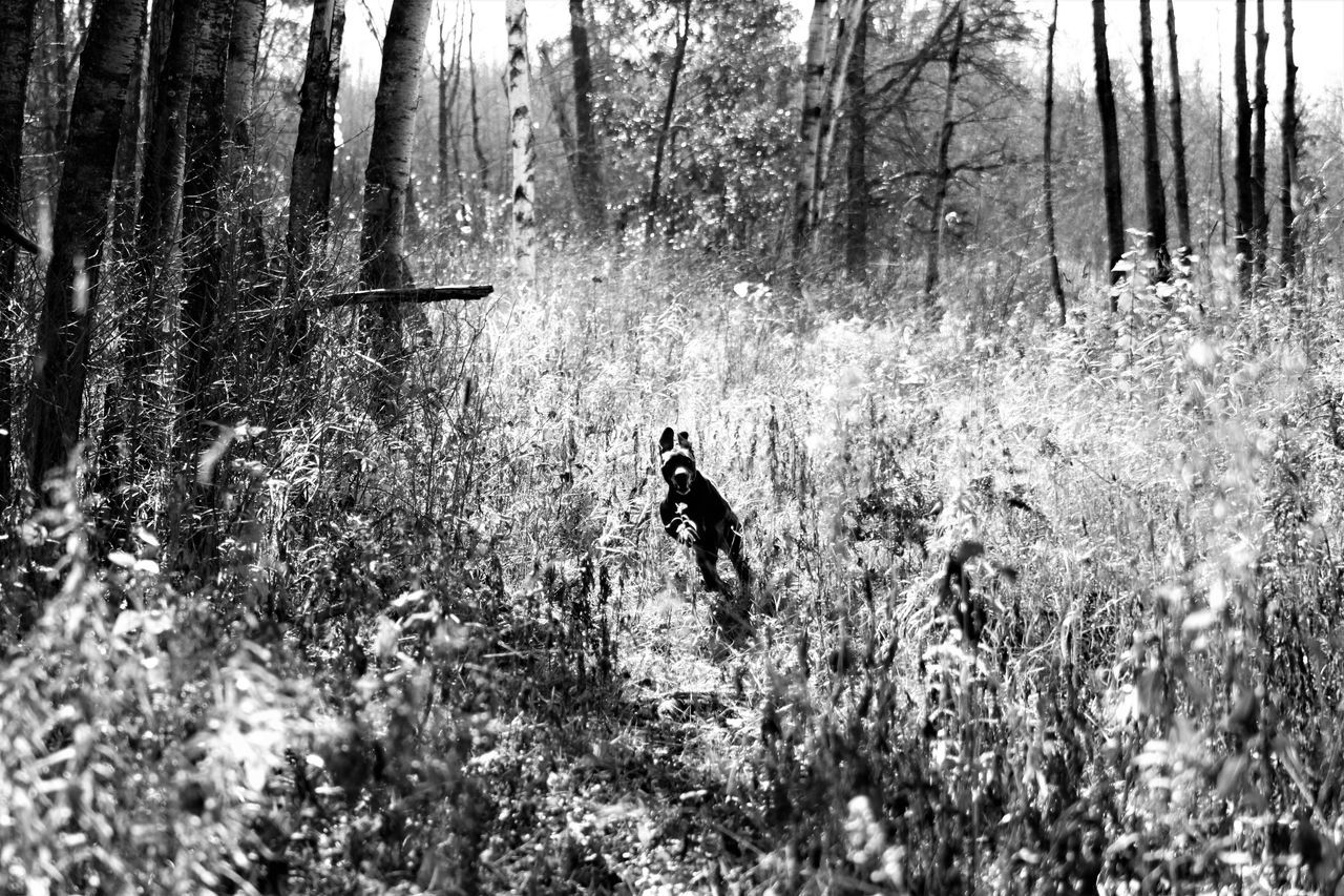 My dog loves to hunt! Animal Themes Beauty In Nature Dogs Fall Beauty My Dogs Are Cooler Than Your Kids One Animal Outdoors Weimaraner Running Dog Check This Out My Year My View Action Shot  Excited Blackandwhite
