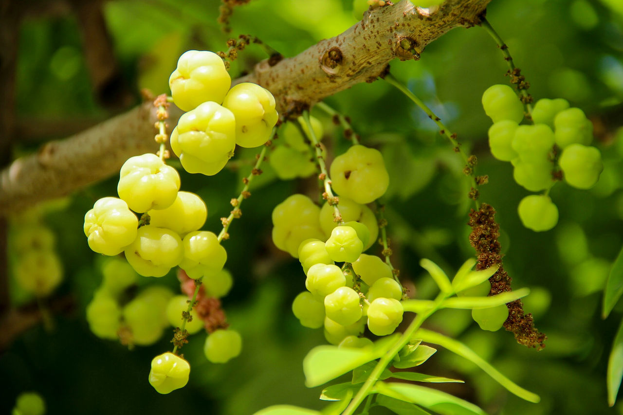 star gooseberry Beauty In Nature Close-up Day Eat Focus On Foreground Food Fruit Green Color Nature No People Outdoors Ripe Sour Star Gooseberry Tree Vine Yellow