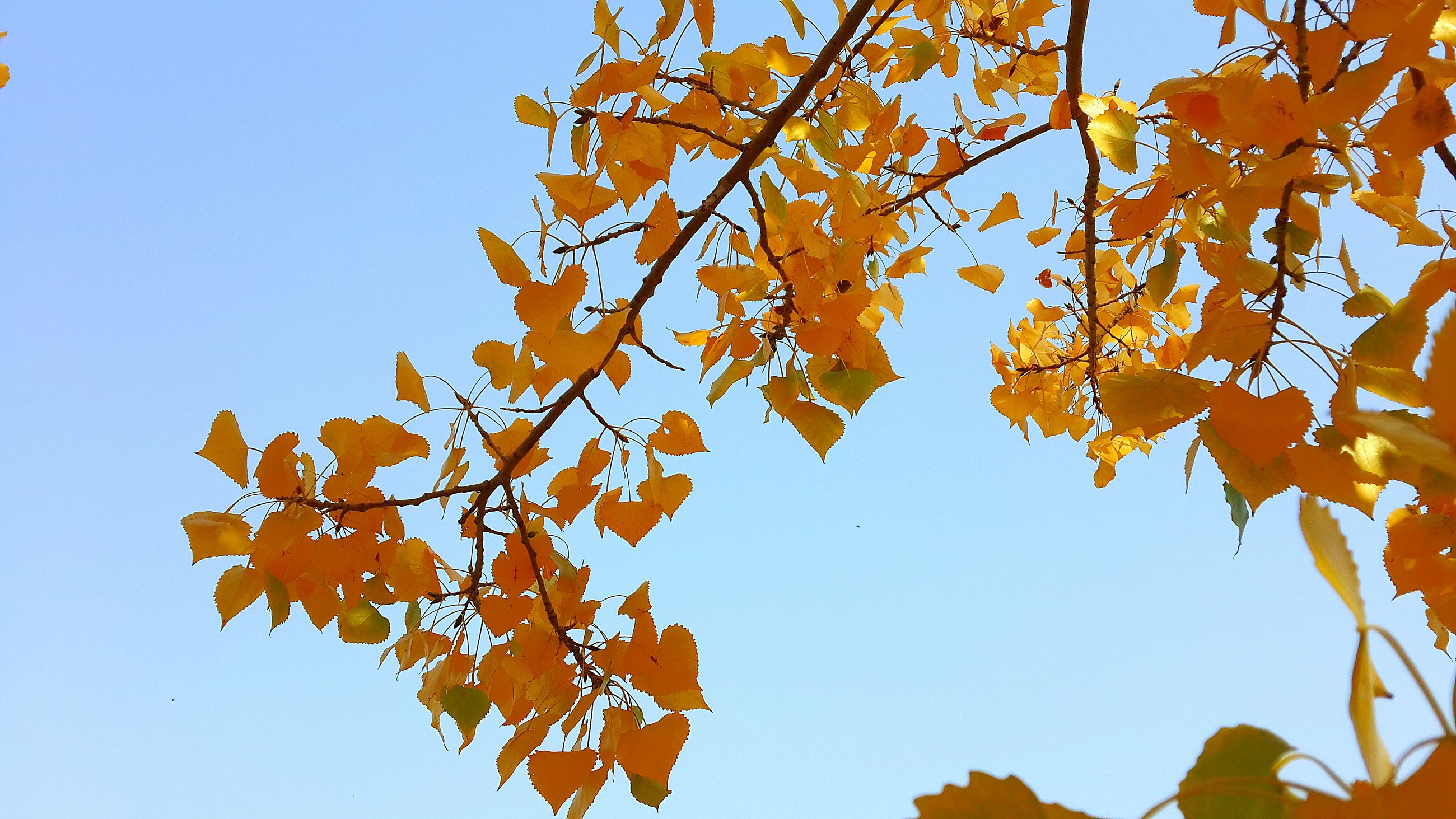 clear sky, autumn, low angle view, leaf, branch, tree, growth, change, season, nature, blue, orange color, beauty in nature, sunlight, day, yellow, close-up, tranquility, outdoors, no people