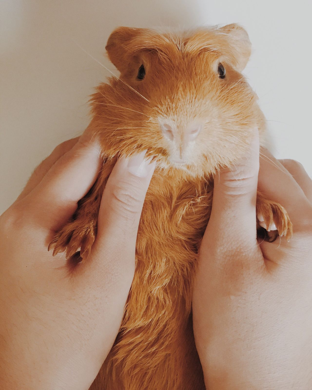 Beautiful stock photos of guinea-pigs, Animal Head, Animal Themes, Close-Up, Detail