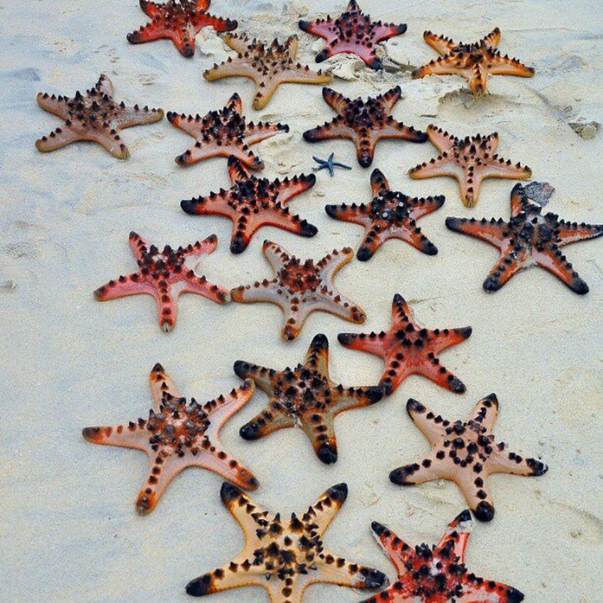 Beach Starfish  Potipot Zambales