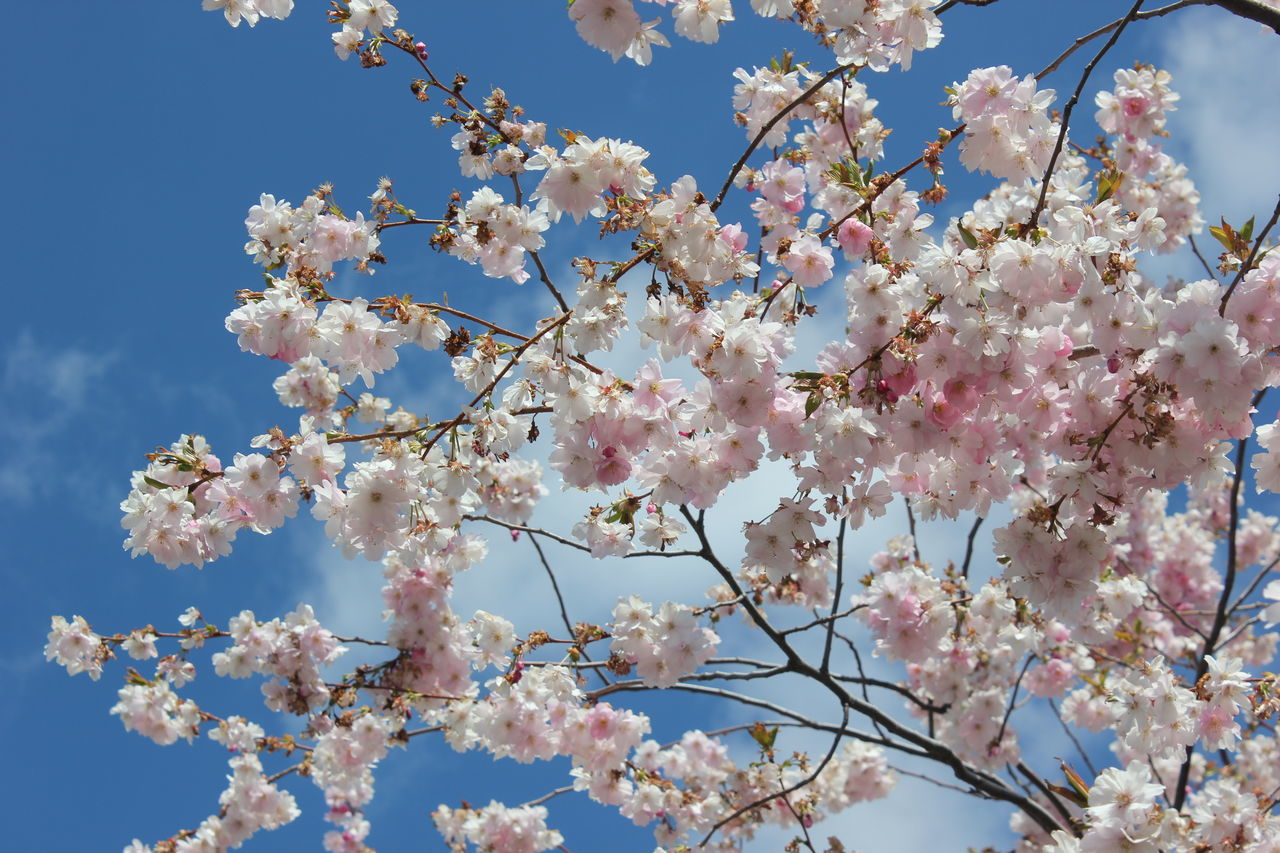 Beauty In Nature Blossom Branch Cherry Blossom Cherry Tree Flower Fragility Freshness Growth Low Angle View Nature No People Pink Color Sky Springtime Tree White Color Kungsträdgården, Stockholm Sweden