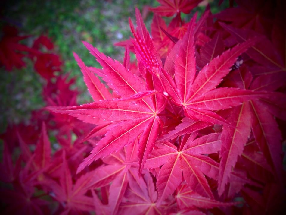 Good Things Come In 3's Mother Nature Is Amazing 😉 Growth Leaf Nature Plant Red Fragility Beauty In Nature Close-up Drop No People Freshness Day Outdoors Maple Leaf Flower Head Flower (null)😚 Saikai City Japan