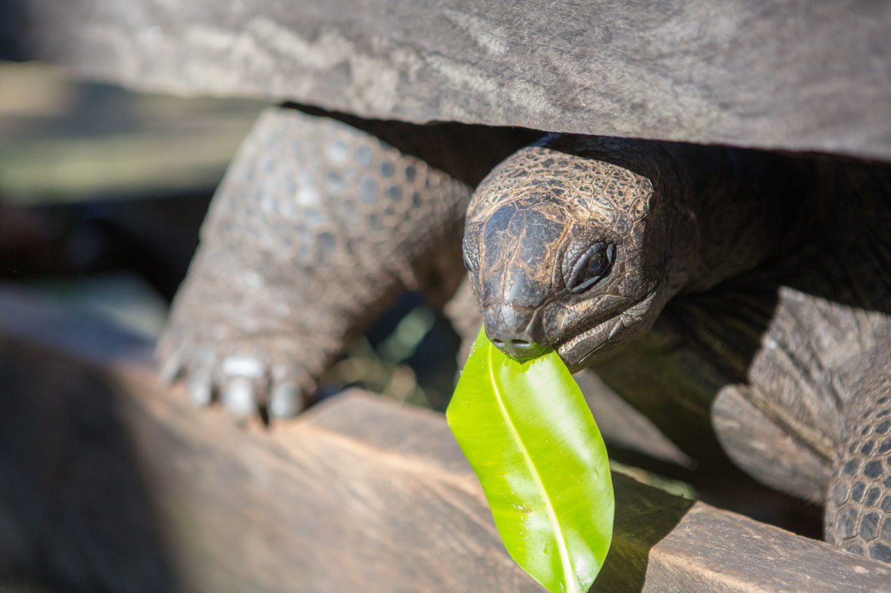 Animal Themes Animal Wildlife Animals In The Wild Close-up Day Giant Tortoise Iguana Lizard Nature No People One Animal Outdoors Parrot Reptile Tortoise