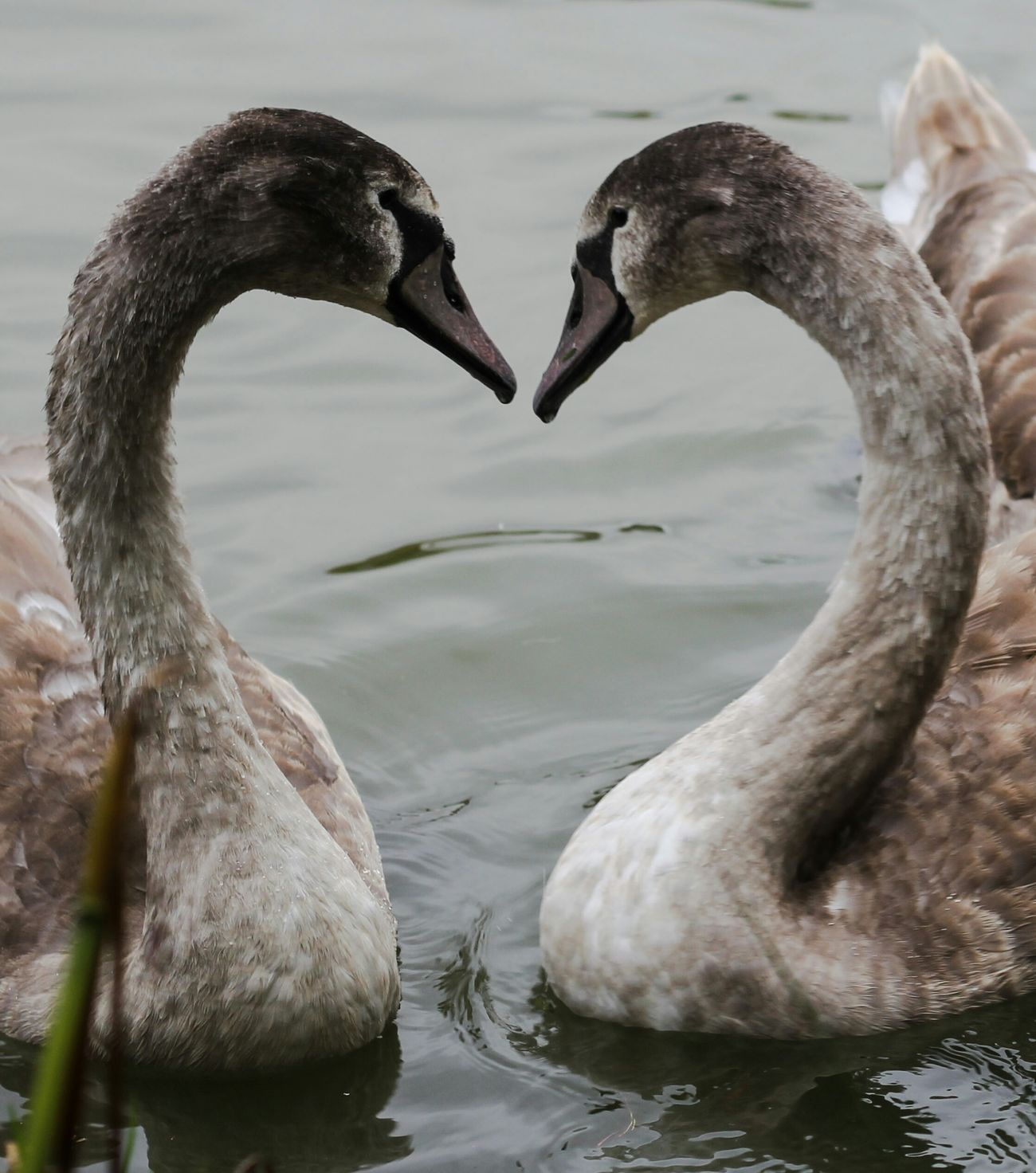 Photography Wildlife Signets Love First Eyeem Photo