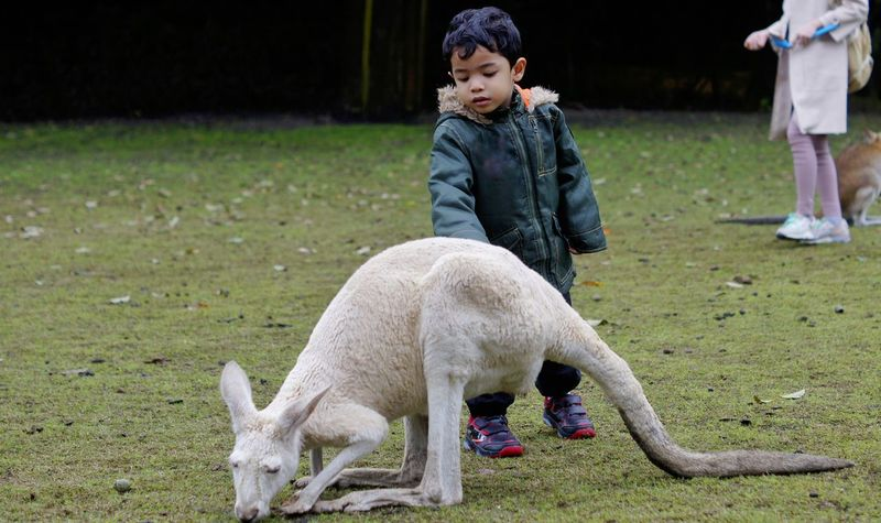 Young boy touch a white kangaroo Caversham Wildlife Park Perth Animal Themes Boys Child Childhood Children Only Day Domestic Animals Full Length Grass Kangaroo Mammal Nature One Animal One Person Outdoors People Standing White Kangaroo Young Boy