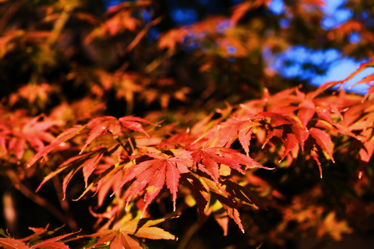Autumn Autumn🍁🍁🍁 Freshness Red Red Flower Beauty In Nature Nature Leaf Maple Leafs Focus On Foreground Quality Time Relaxation Outdoors Relaxing Moments