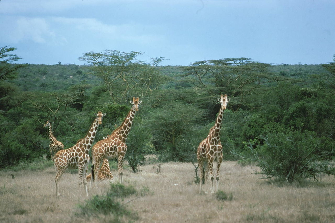 Giraffes Animal Themes Animals In The Wild Beauty In Nature Blue Sky White Clouds Composition Dry Grasses Famous Place Five Animals Forest Giraffes In The Wild Kenya Landscape Large Group Of Animals Nairobi Nairobi National Park National Park Nature No People Outdoor Photography Safari Animals Togetherness Tourist Attraction  Tourist Destination Trees