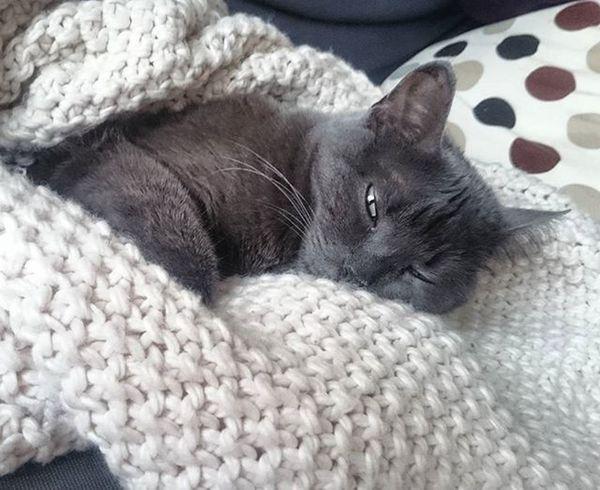 Tshaga_the_cat Chartreux Karthäuser