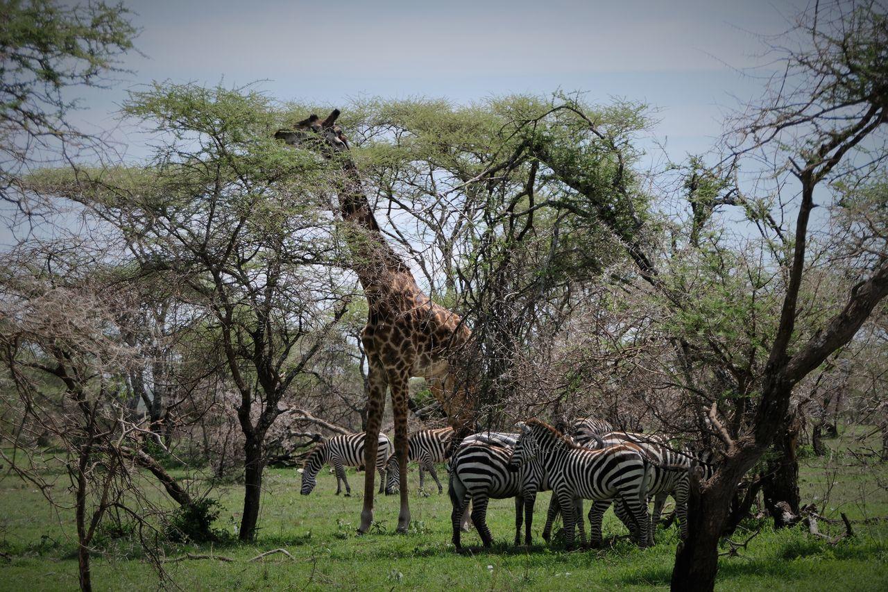 Serengeti Beauty In Nature Giraffe Large Group Of Animals Massai Giraffe Serengeti National Park Trees And Sky Zebra