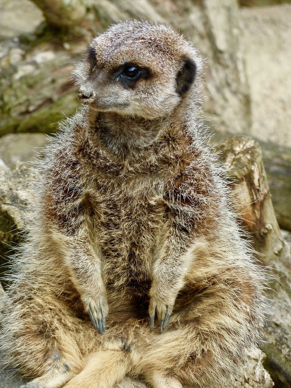 Meercat  Whipsnade Zoo One Animal Animals In The Wild Animal Wildlife Animal Themes Meerkat Mammal No People Day Outdoors Nature Close-up Portrait