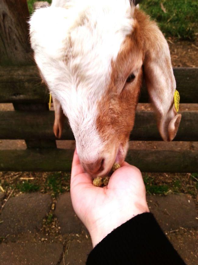 Feeding goats and sheep 🐑🐐 Walking Around Autumn Animals Animal_collection Enjoying Life Taking Photos Cheese!