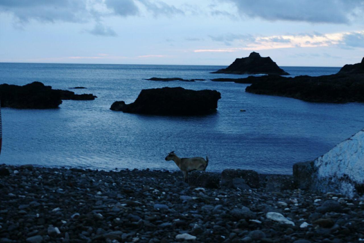 Goat Seaside Lanyu Taitung,taiwan