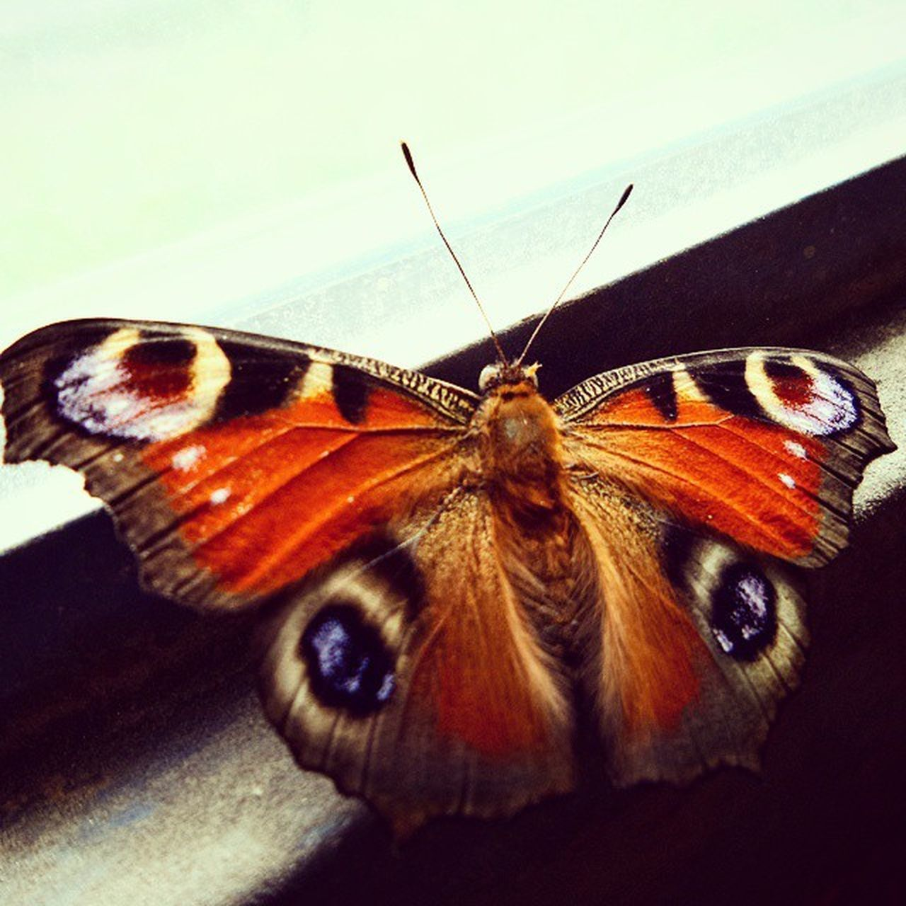 Hungary Hungarian Mik Ikozosseg Insta_hu Ig_hun Ptk Ptk_buginsects Bug Butterfly Macro Like Naturelovers Nature Colorful