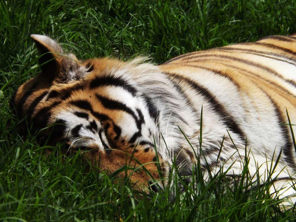Beautiful stock photos of tiger, Animal Markings, Animal Themes, Animal Wildlife, Animals In The Wild