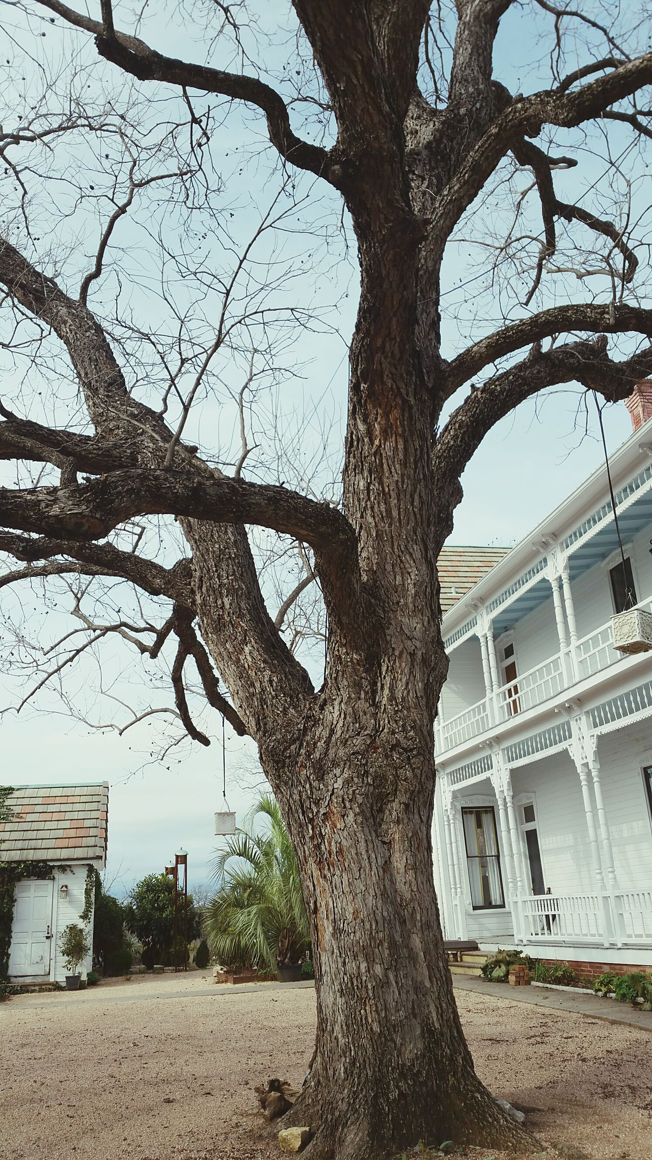 No telling how old this big old pecan tree is. Tree Sky Growth Branch Outdoors Building Exterior No People Architecture Day Nature Historical Building Texas Barr Mansion Historical Built Structure