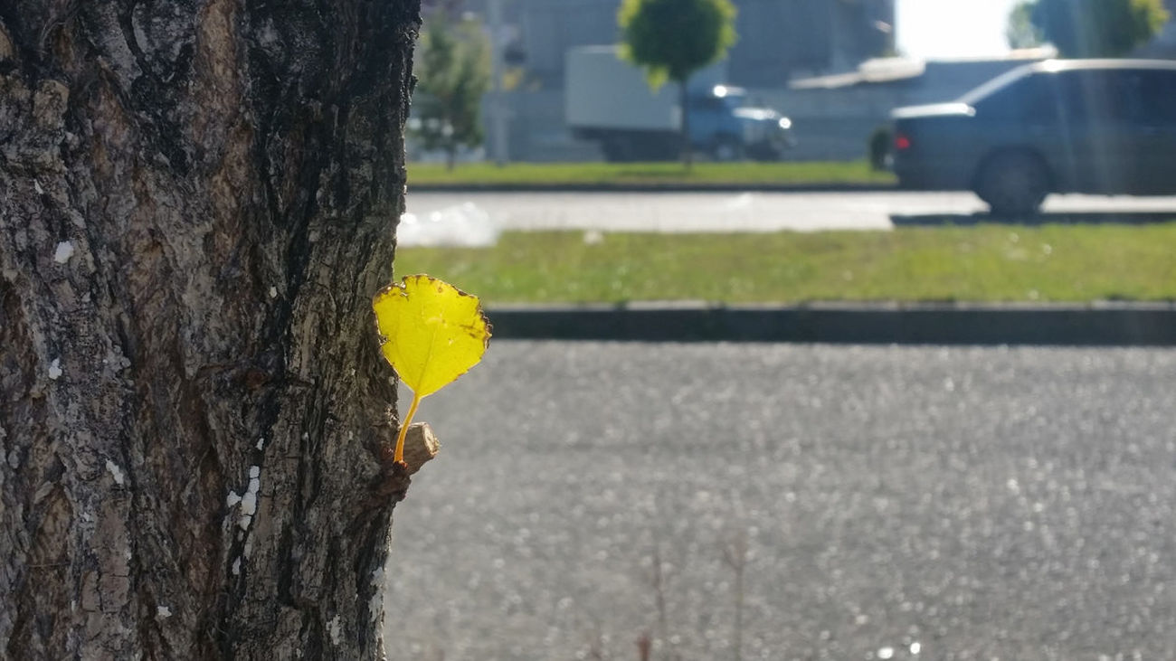 Autumn Yellow Tree Trunk Focus On Foreground Street Urban Lifestyle Nature No People Fall Yellow Color Autumn Colors The One City Colours