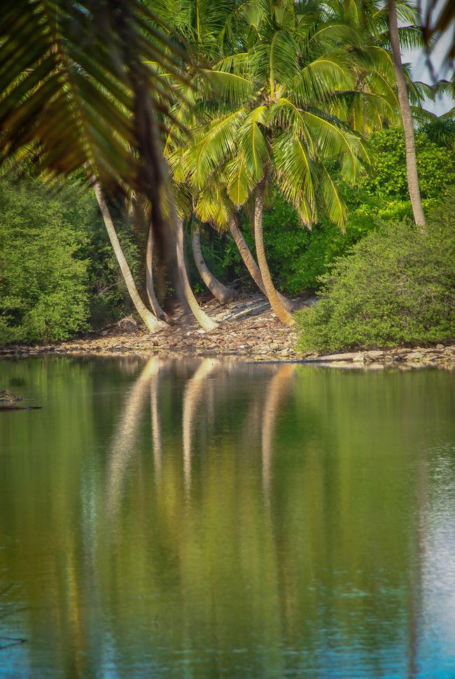 Coconut Trees Tropical Holiday Savetheplanet Islands Woods Nikon Freelance Life Maldives From My Point Of View Like Nikonphotography Freelancerlife AdducityIsland Photooftheday Addu Tropical Traveler Nature