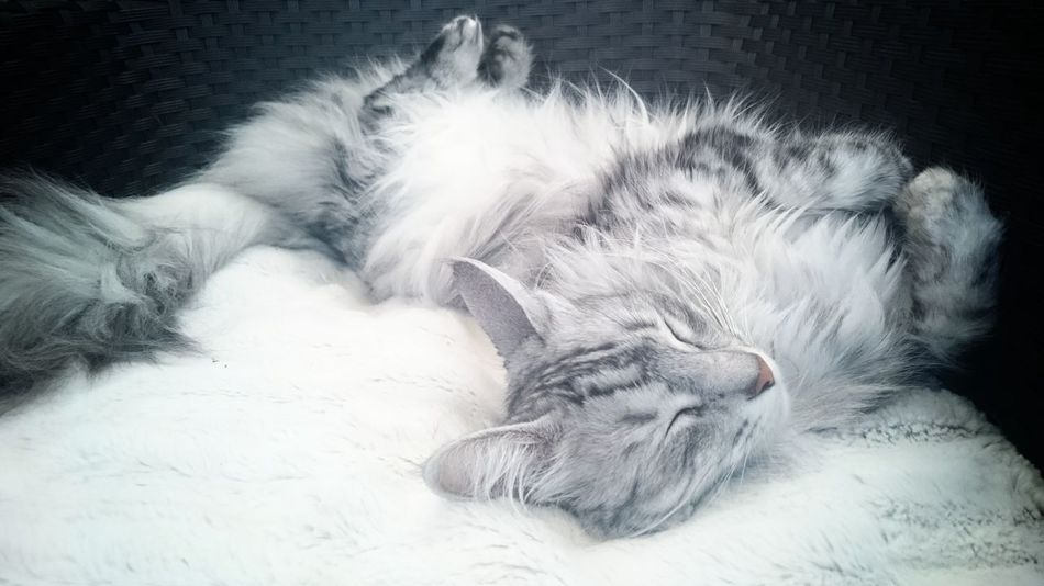 Angora Angoracat Beautiful Cat Beauty Cat Chilling Cute Cat Delicate Domestic Animals Domestic Cat Feline Lying Down Peaceful Moment Pets Relaxation Silver  Sleeping Beauty Sleeping Cat Snoozing Turkish Angora Cat Always Be Cozy