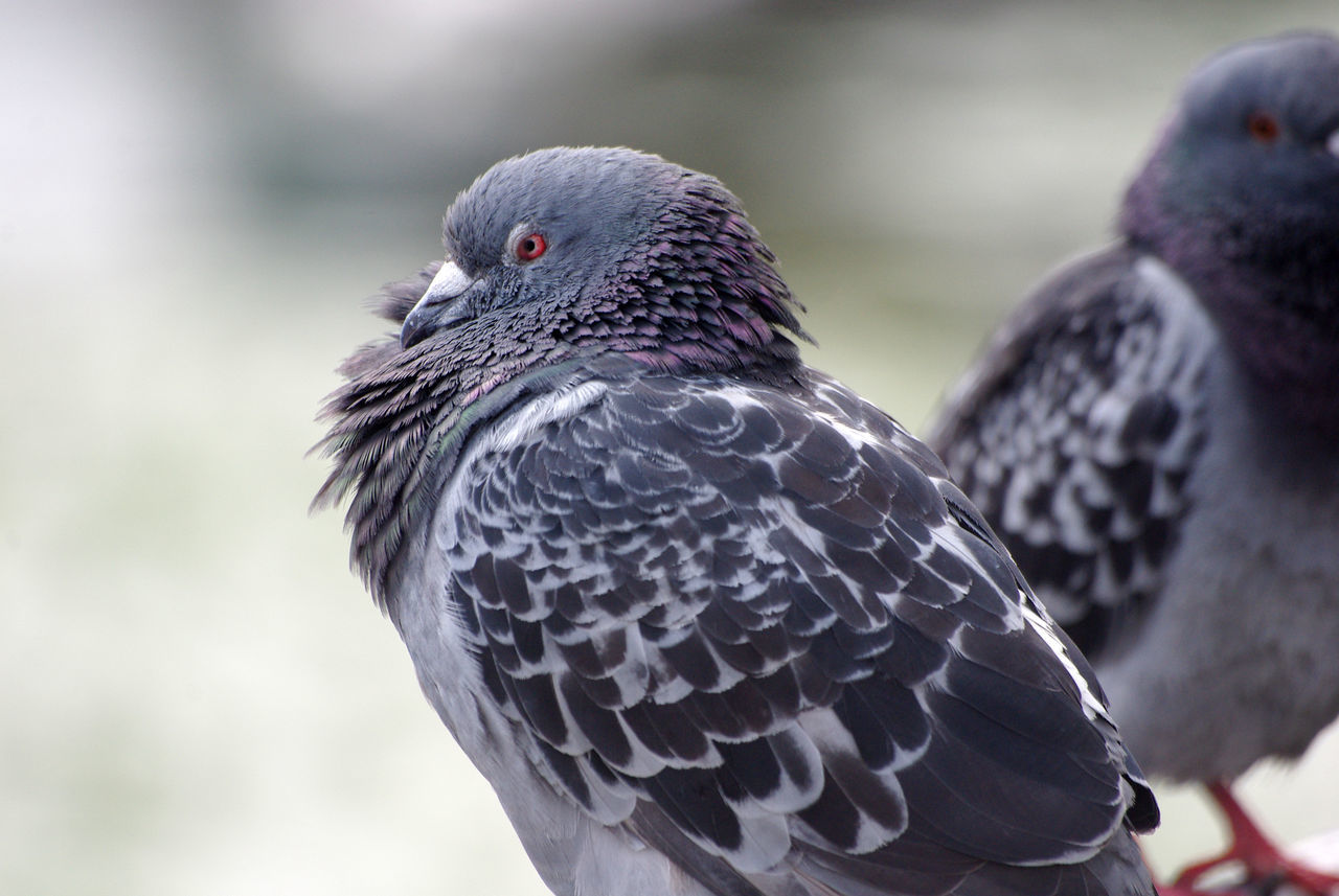 Angry Eye Bird Grey Pigeon Red Eye