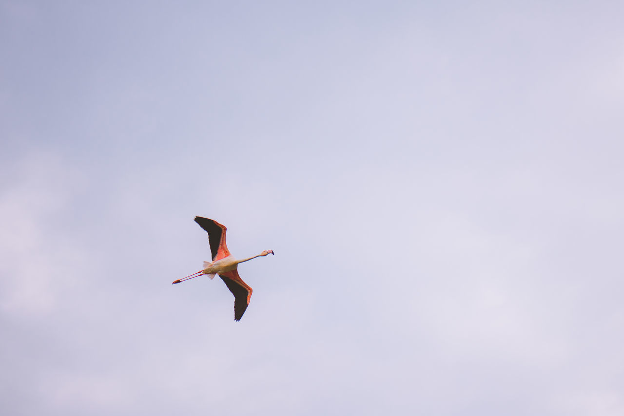 Animal Themes Animal Wildlife Animals In The Wild Bird Day Dubai Flamingo Flying Freedom Low Angle View Mid-air Nature No People One Animal Outdoors Pelican Sky Spread Wings UAE United Arab Emirates