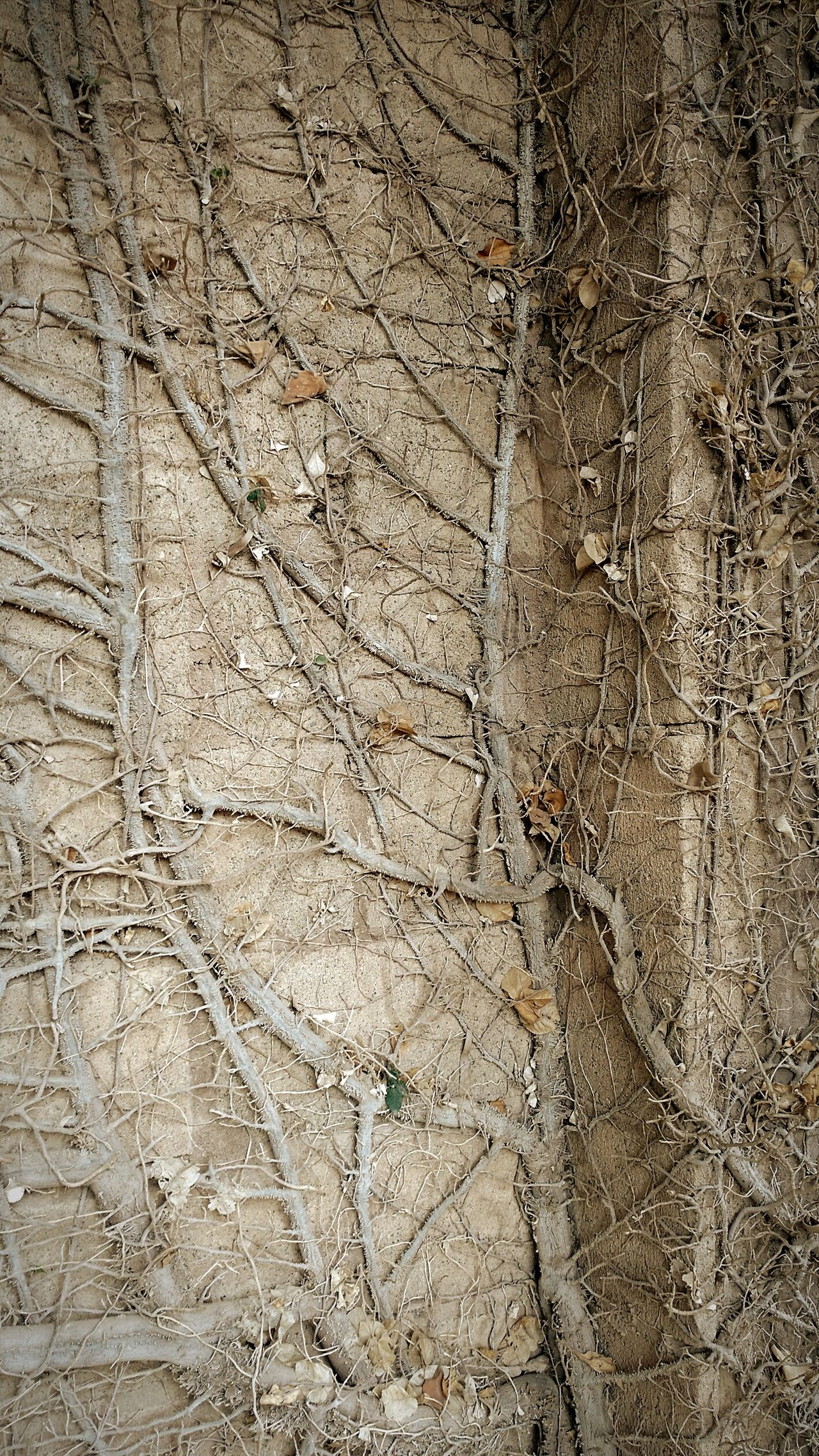 Dead climbing vine. Close-up Day Nature Outdoors No People Dead Plant Dead Nature Dead Vines Abandoned Abandoned Places Decay Decay And Dereliction Beauty Of Decay Broken Broken Beauty Forgotten Forgotten Places  EyeEmBestPics EyeEm Gallery