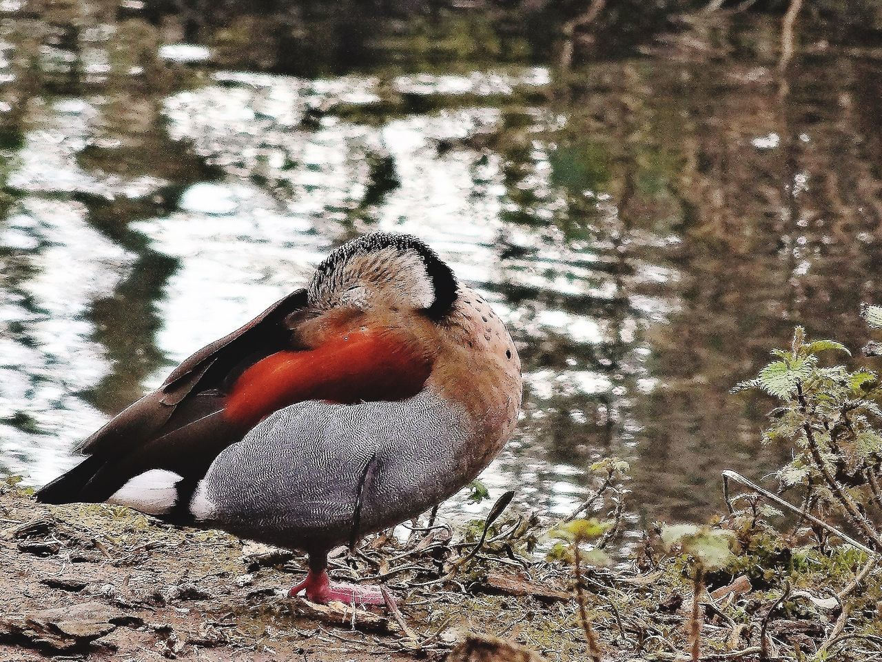Duck Resting On Lakeshore