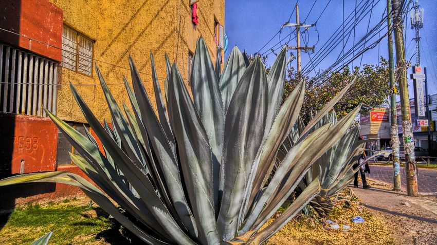 Plantas en ciudad Nature Maguey Streetnature Cityscapes Love To Take Photos ❤ Green Color Fullcolor Walking Around Taking Photos Streetphotography RAWphotography Close-up Urbanexploration Picsofday Nice City Street Illuminated Vibrant Color Plant Garden Urbanphotography