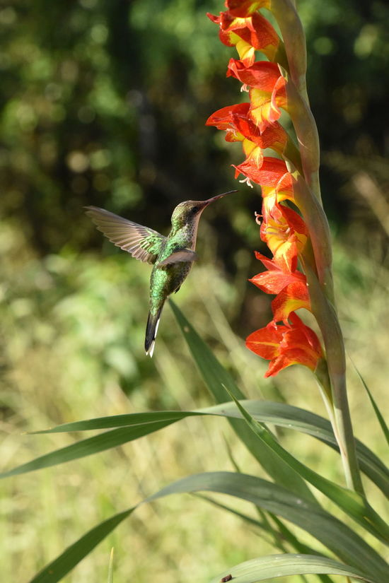 Vervain Hummingbird taken in Jamaica Animals Feeding Animals In The Wild Close-up Flower Hummingbird Jamaica Nature Wildlife First Eyeem Photo