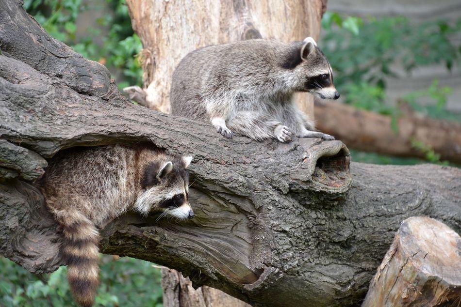 Beautiful stock photos of raccoon,  Animal,  Animal Family,  Animal Themes,  Animal Wildlife