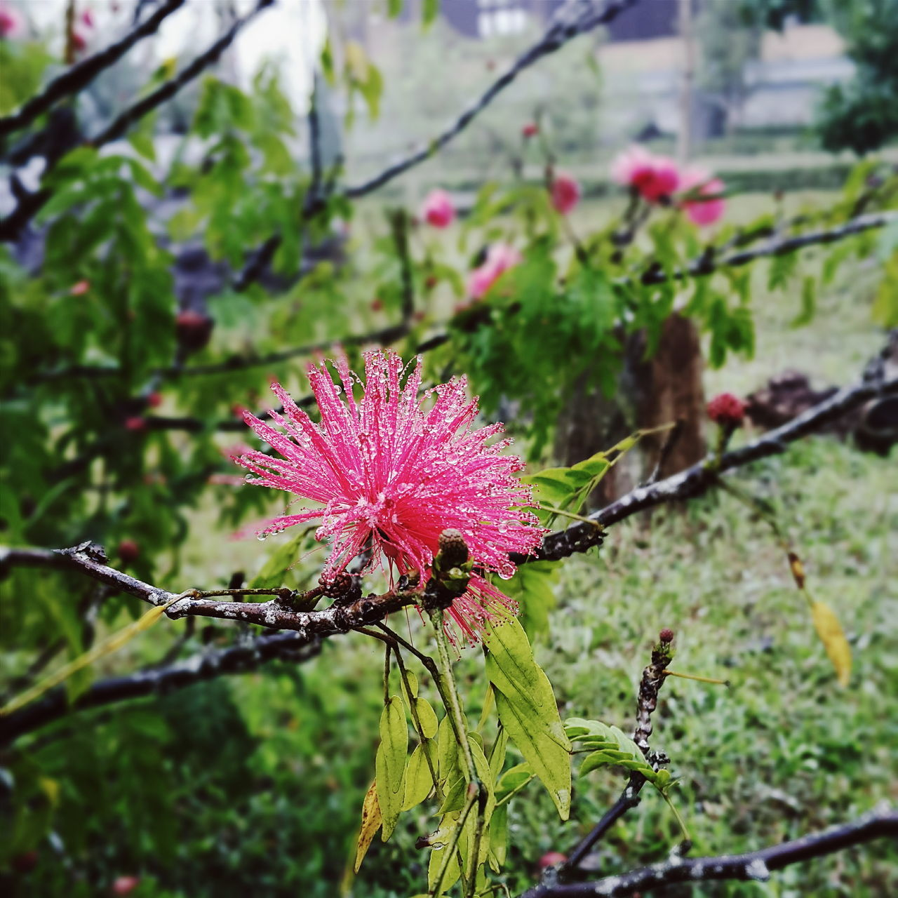 flower, focus on foreground, nature, growth, plant, day, fragility, outdoors, no people, pink color, beauty in nature, freshness, flower head, close-up, thistle, sky