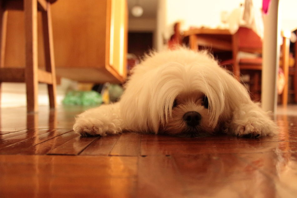 Animal Themes At Home Close-up Cute Pets Day Dog Domestic Animals Home Interior Indoors  Lazy Day Lying Down Maltese No People One Animal Pets Portrait Reflection On The Floor Relaxation Sleepy Puppy Sleepy Time Tired Tired!