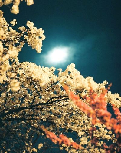 Cherry Blossoms Japan Nature Photo 120mm Photography Mamiya RB67 Open Edit Film