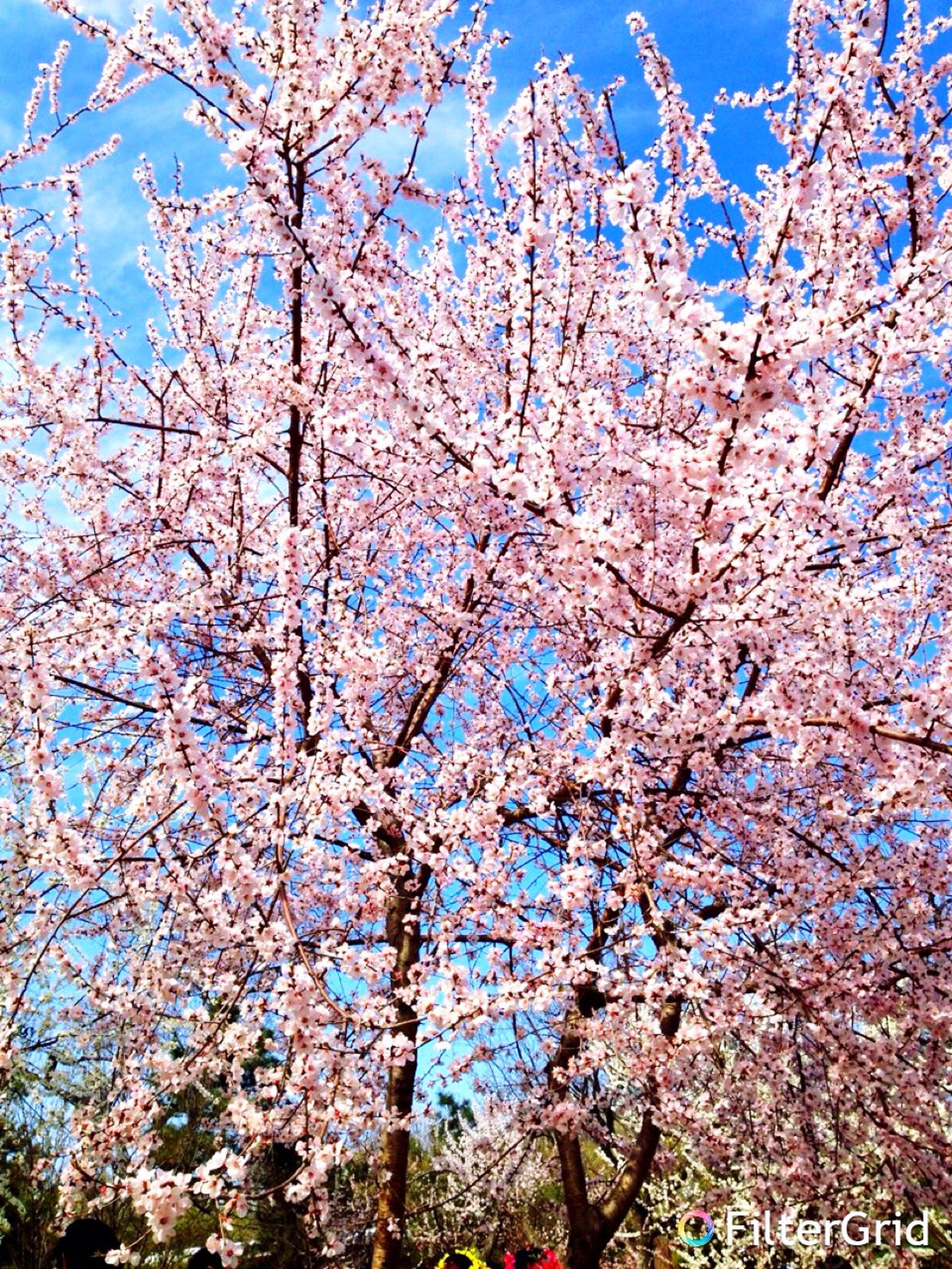 flower, tree, branch, growth, freshness, low angle view, cherry blossom, beauty in nature, blossom, nature, fragility, cherry tree, clear sky, springtime, blue, in bloom, blooming, sky, day, white color