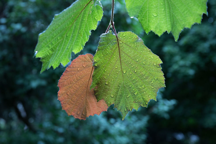 Rear view of filbert hazel leaves after rain Aging Process Beauty In Nature Change Close-up Day Focus On Foreground Fragility Freshness Green Color Growth Hazel Tree Leaf Leaf Vein Nature No People Outdoors Rain RainDrop Rear View Red Selective Focus Summer Tree Water Weather